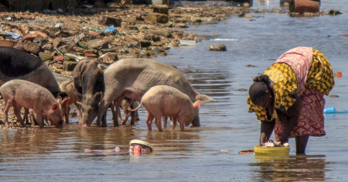 Sintomas cerdos cisticercosis en